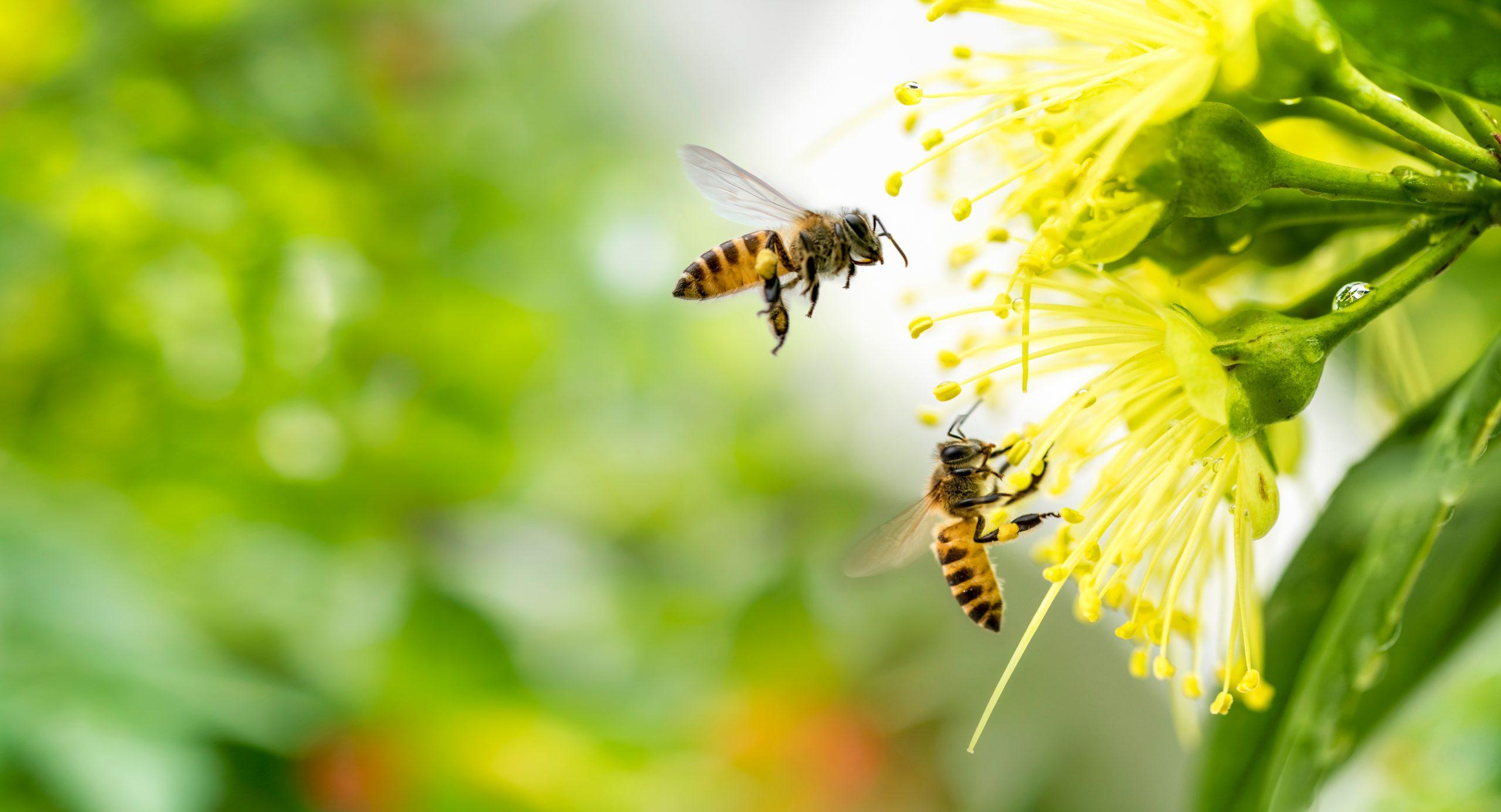 flying honey bee collecting pollen yellow